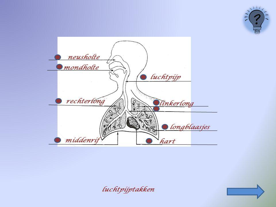 neusholte mondholte luchtpijp rechterlong linkerlong longblaasjes middenrif hart luchtpijptakken