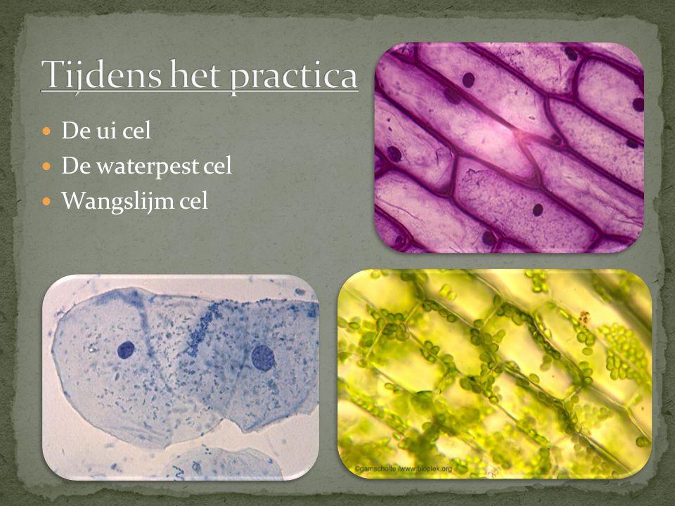Tijdens het practica De ui cel De waterpest cel Wangslijm cel