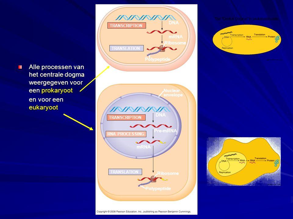 Alle processen van het centrale dogma weergegeven voor een prokaryoot