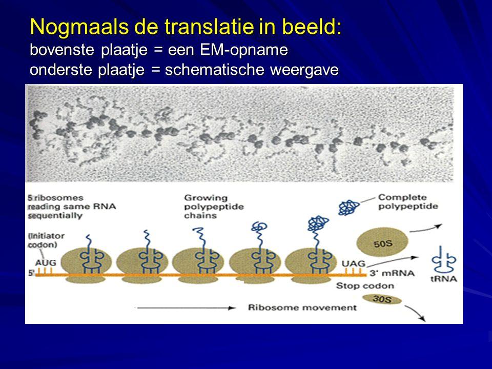 Nogmaals de translatie in beeld: bovenste plaatje = een EM-opname onderste plaatje = schematische weergave