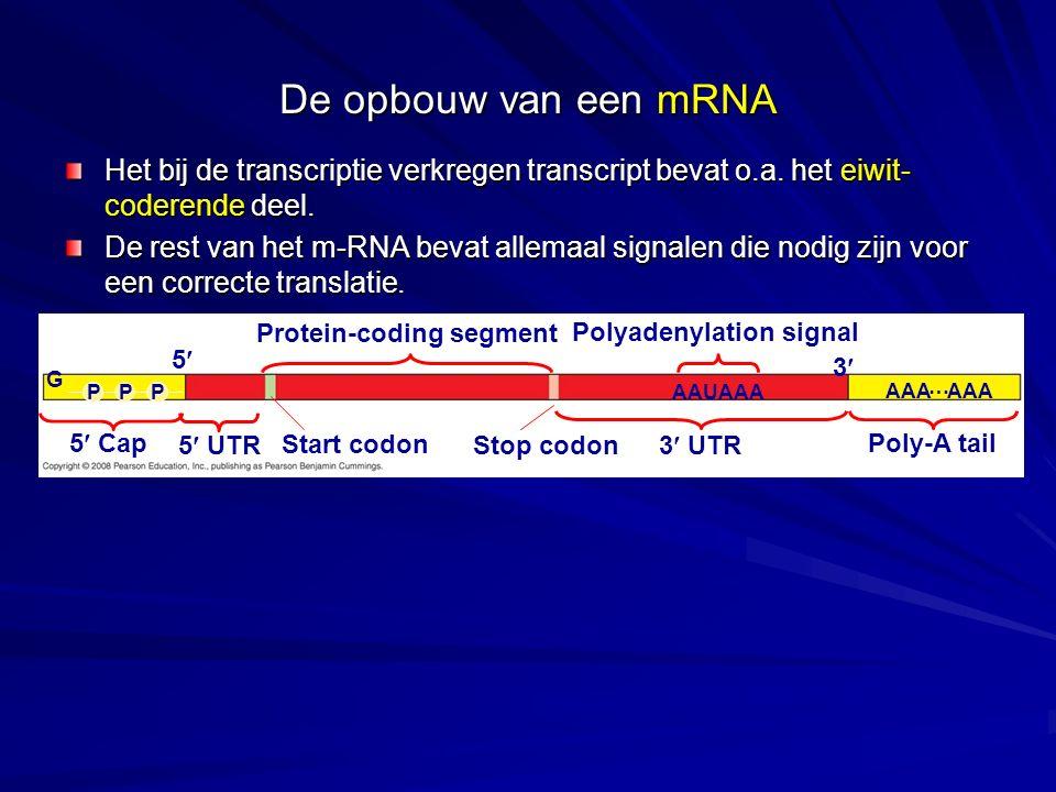 De opbouw van een mRNA Het bij de transcriptie verkregen transcript bevat o.a. het eiwit-coderende deel.