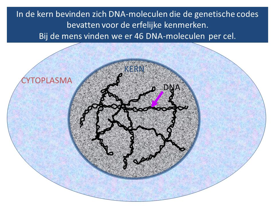 In de kern bevinden zich DNA-moleculen die de genetische codes bevatten voor de erfelijke kenmerken. Bij de mens vinden we er 46 DNA-moleculen per cel.