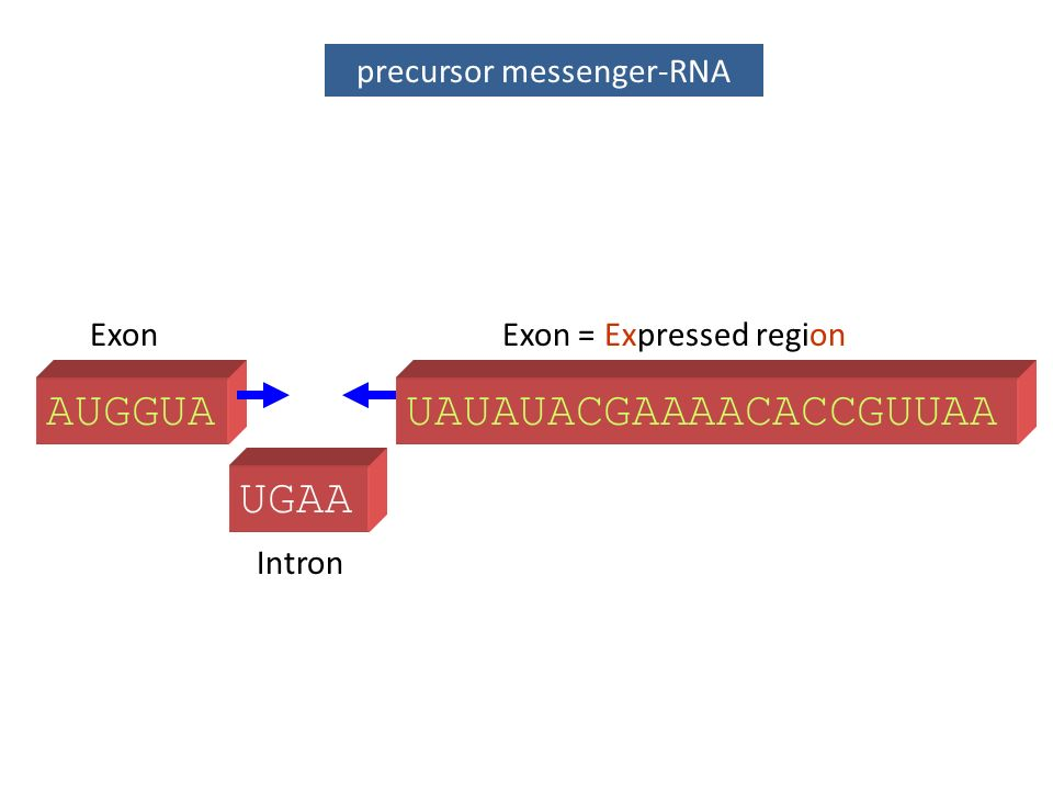 precursor messenger-RNA