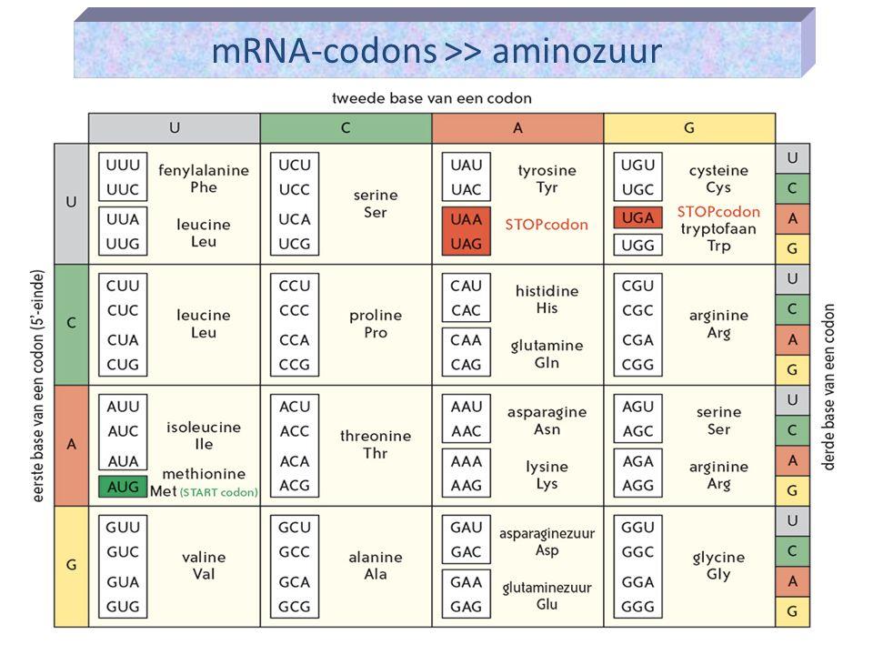 mRNA-codons >> aminozuur
