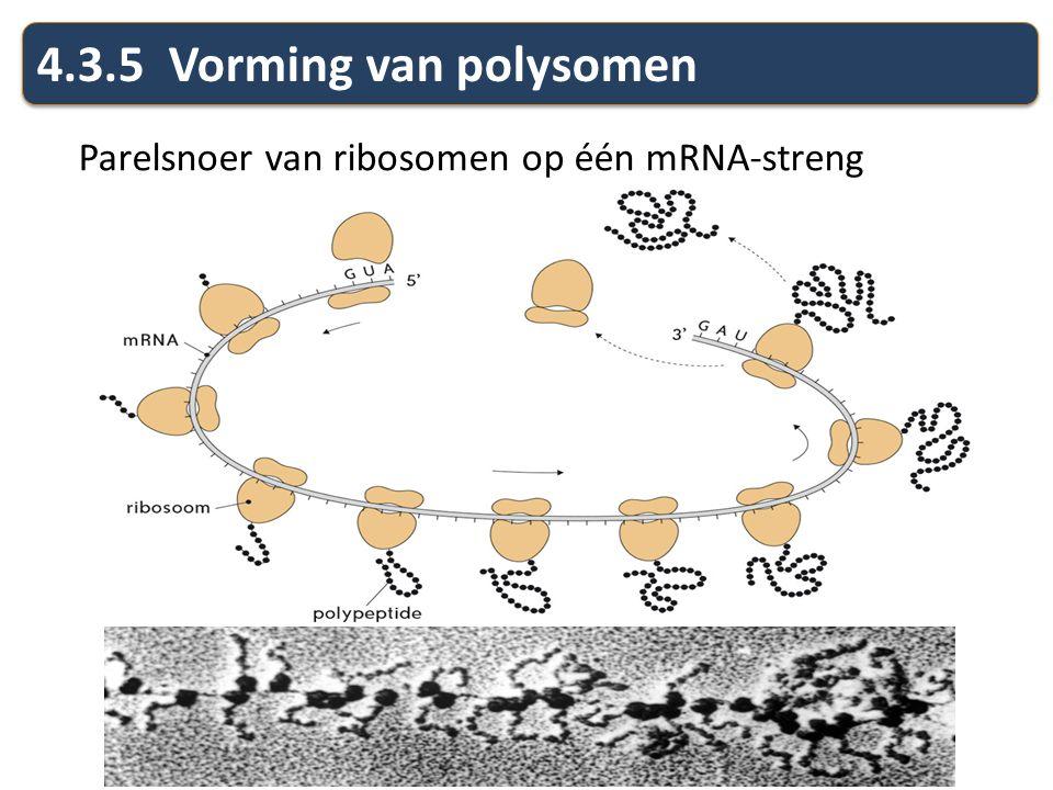 4.3.5 Vorming van polysomen Parelsnoer van ribosomen op één mRNA-streng