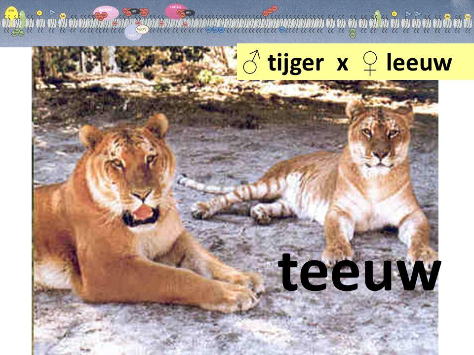 ♂ tijger x ♀ leeuw teeuw