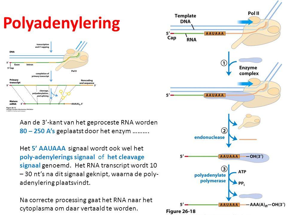 Polyadenylering Aan de 3'-kant van het geproceste RNA worden
