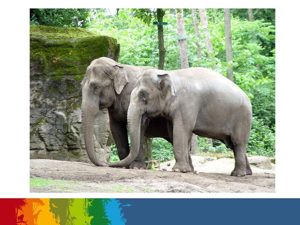 Uit een circus kwamen twee oude olifanten-vrouwtjes naar Burgers' Zoo