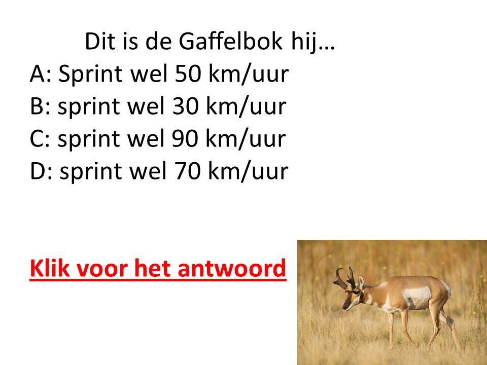 Dit is de Gaffelbok hij… A: Sprint wel 50 km/uur B: sprint wel 30 km/uur C: sprint wel 90 km/uur D: sprint wel 70 km/uur Klik voor het antwoord