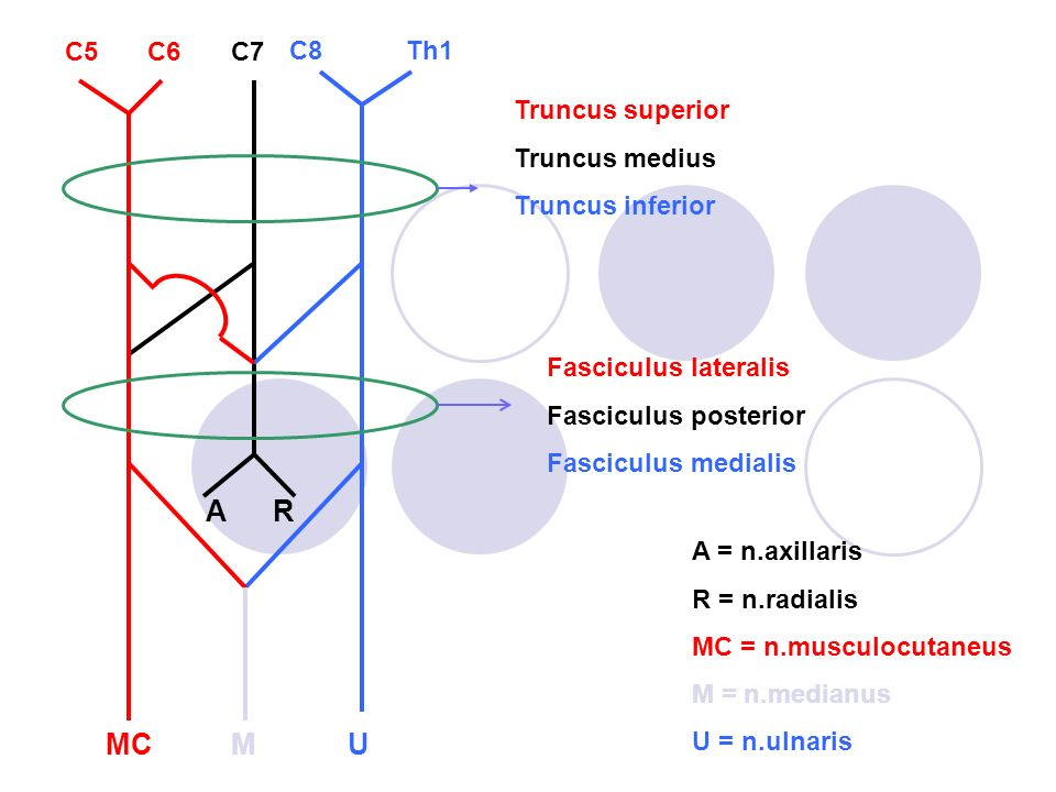 A R MC M U C5 C6 C7 C8 Th1 Truncus superior Truncus medius