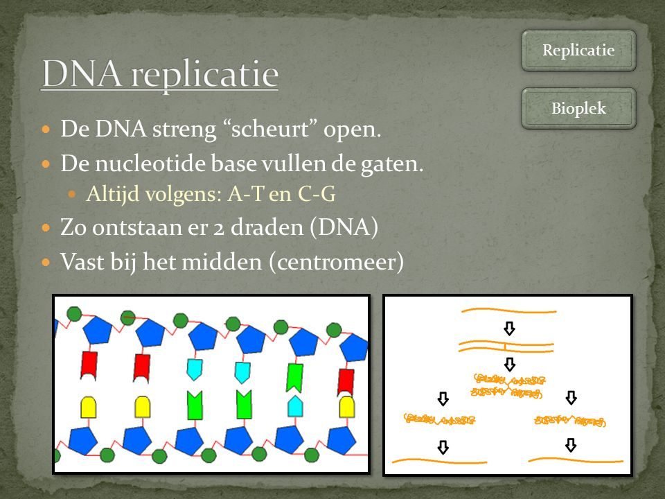 DNA replicatie De DNA streng scheurt open.