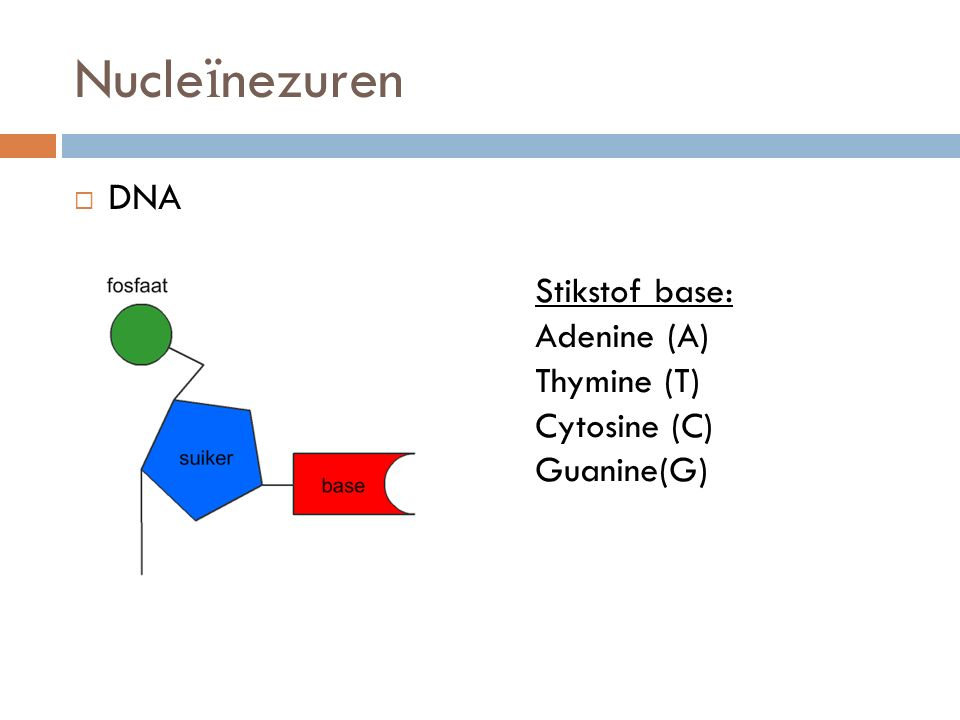 Nucleïnezuren DNA Stikstof base: Adenine (A) Thymine (T) Cytosine (C)