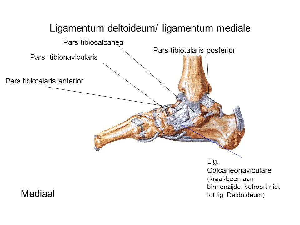Ligamentum deltoideum/ ligamentum mediale