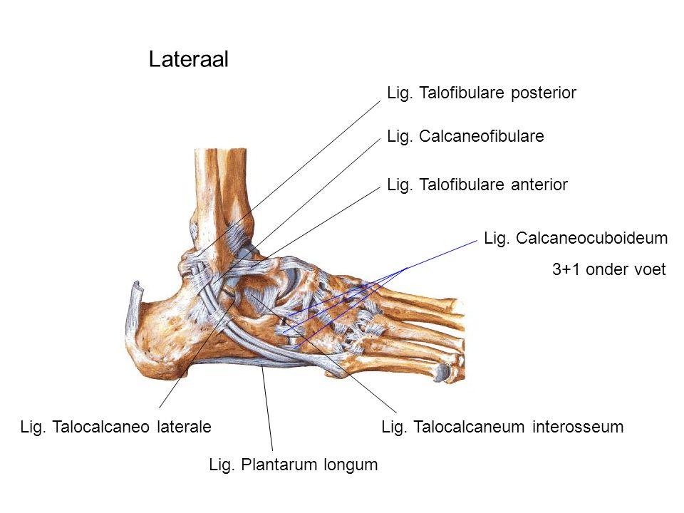 Lateraal Lig. Talofibulare posterior Lig. Calcaneofibulare