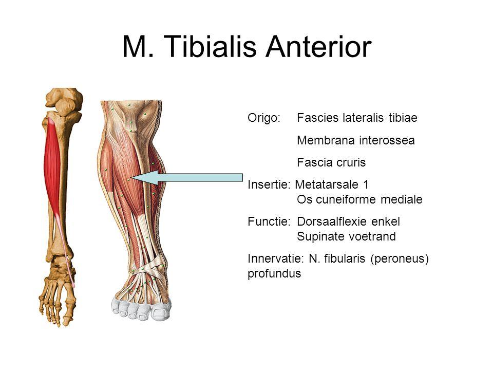 M. Tibialis Anterior Origo: Fascies lateralis tibiae