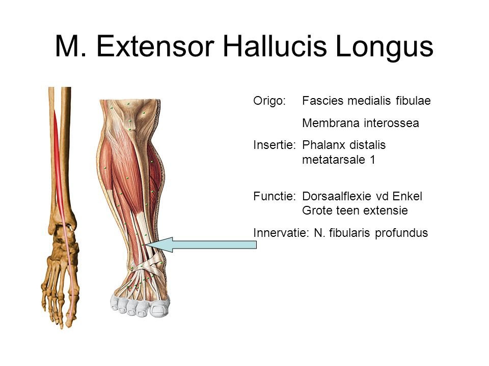 M. Extensor Hallucis Longus