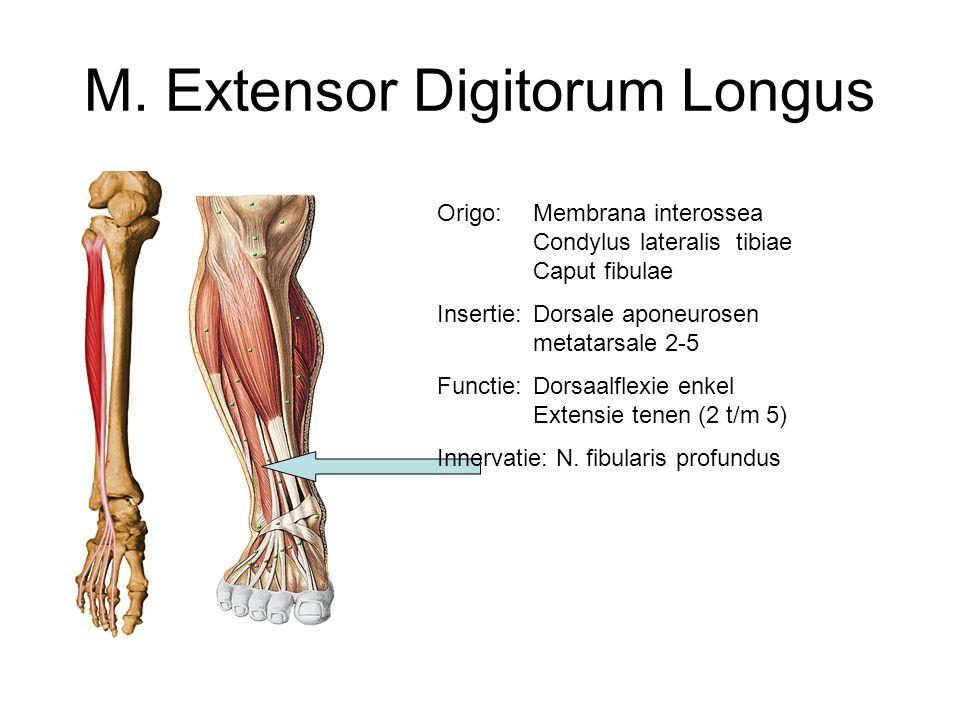M. Extensor Digitorum Longus