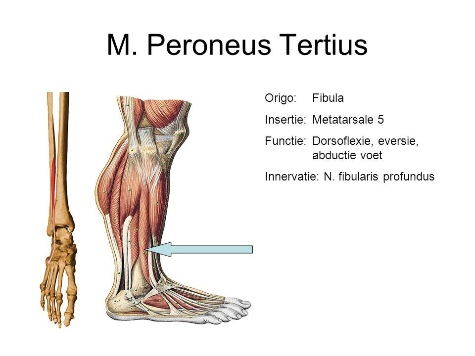 M. Peroneus Tertius Origo: Fibula Insertie: Metatarsale 5