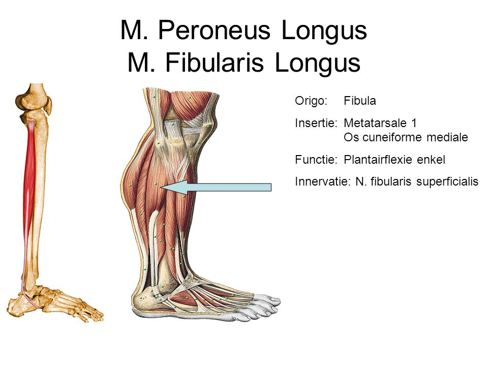 M. Peroneus Longus M. Fibularis Longus