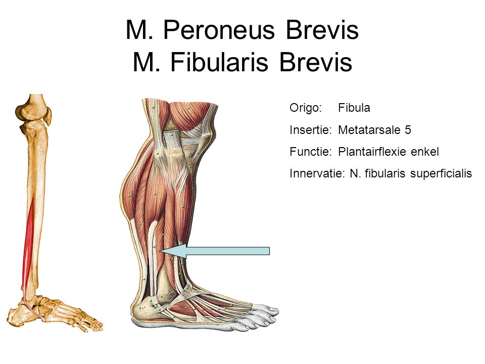 M. Peroneus Brevis M. Fibularis Brevis