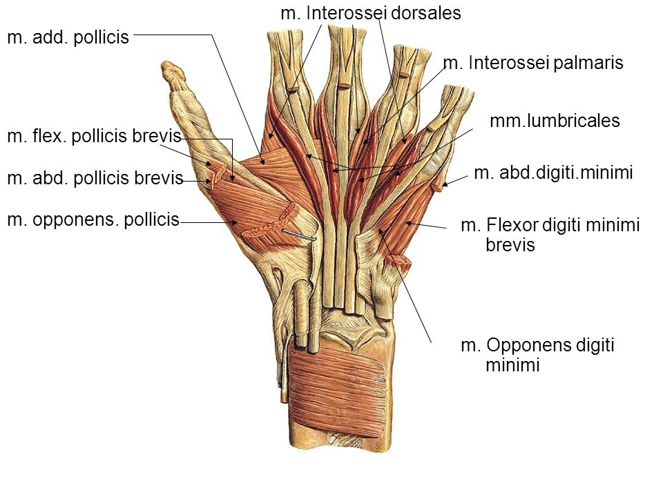 m. Interossei dorsales m. add. pollicis. m. Interossei palmaris. mm.lumbricales. m. flex. pollicis brevis.