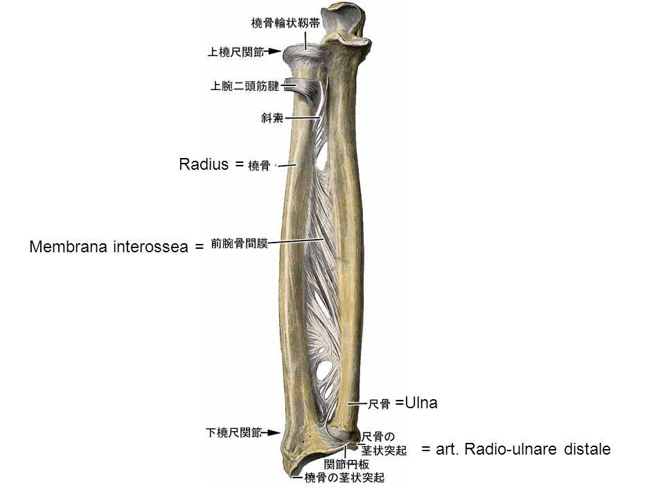 Radius = Membrana interossea = =Ulna = art. Radio-ulnare distale