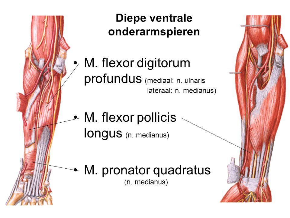Diepe ventrale onderarmspieren