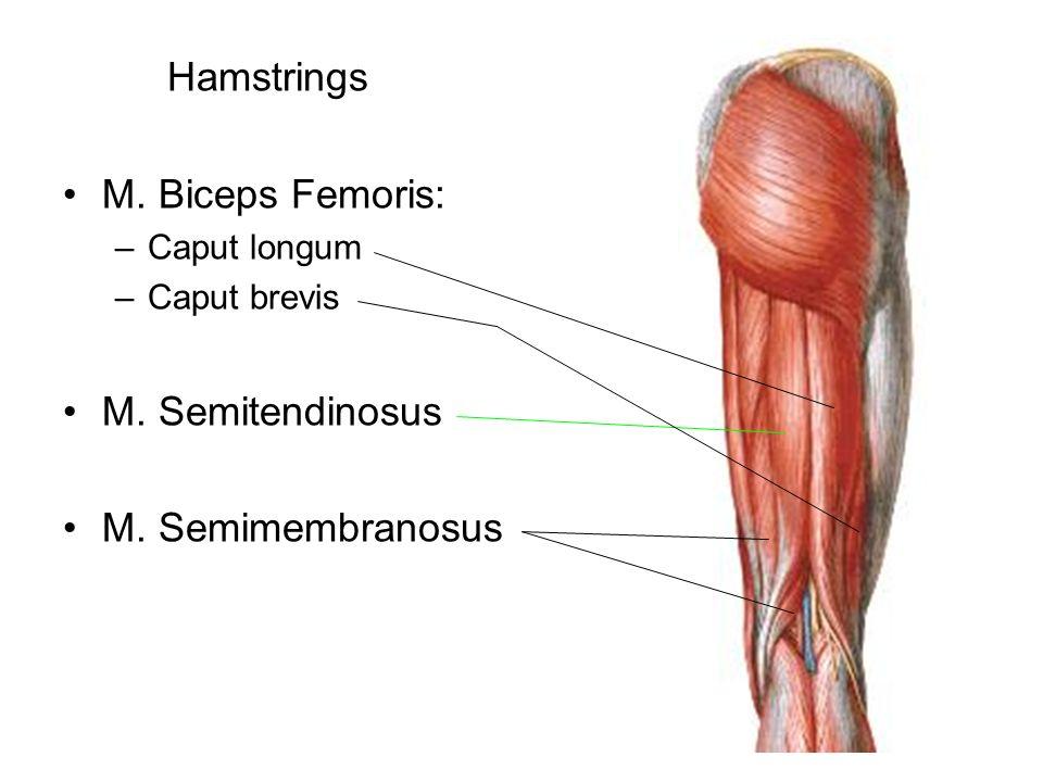 Hamstrings M. Biceps Femoris: M. Semitendinosus M. Semimembranosus