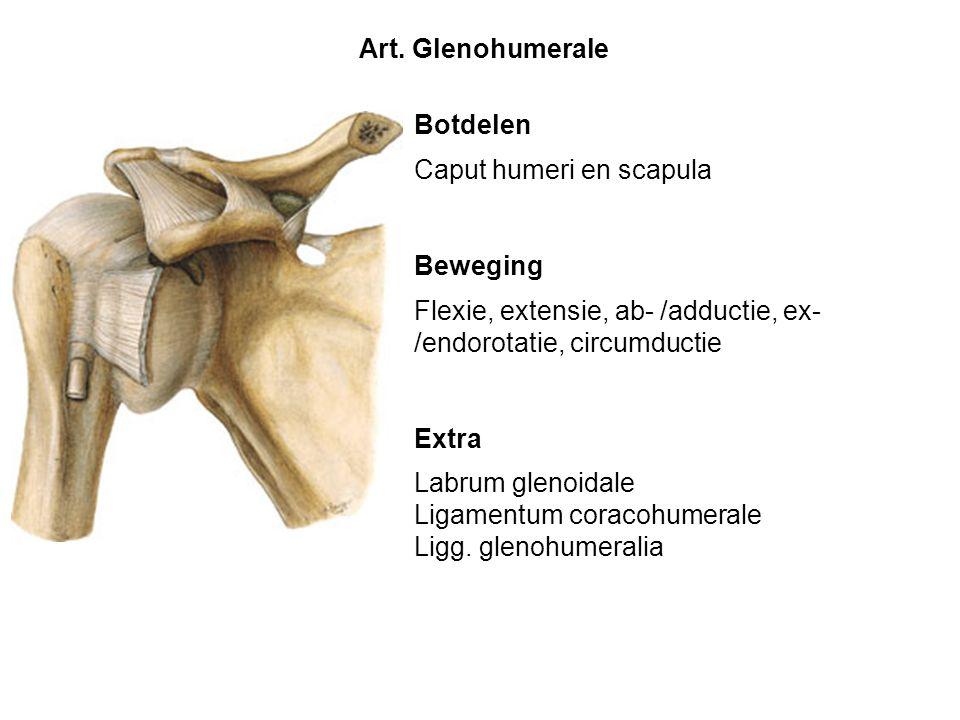 Art. Glenohumerale Botdelen. Caput humeri en scapula. Beweging. Flexie, extensie, ab- /adductie, ex- /endorotatie, circumductie.