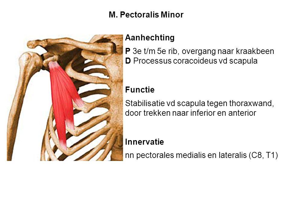 M. Pectoralis Minor Aanhechting. P 3e t/m 5e rib, overgang naar kraakbeen. D Processus coracoideus vd scapula.