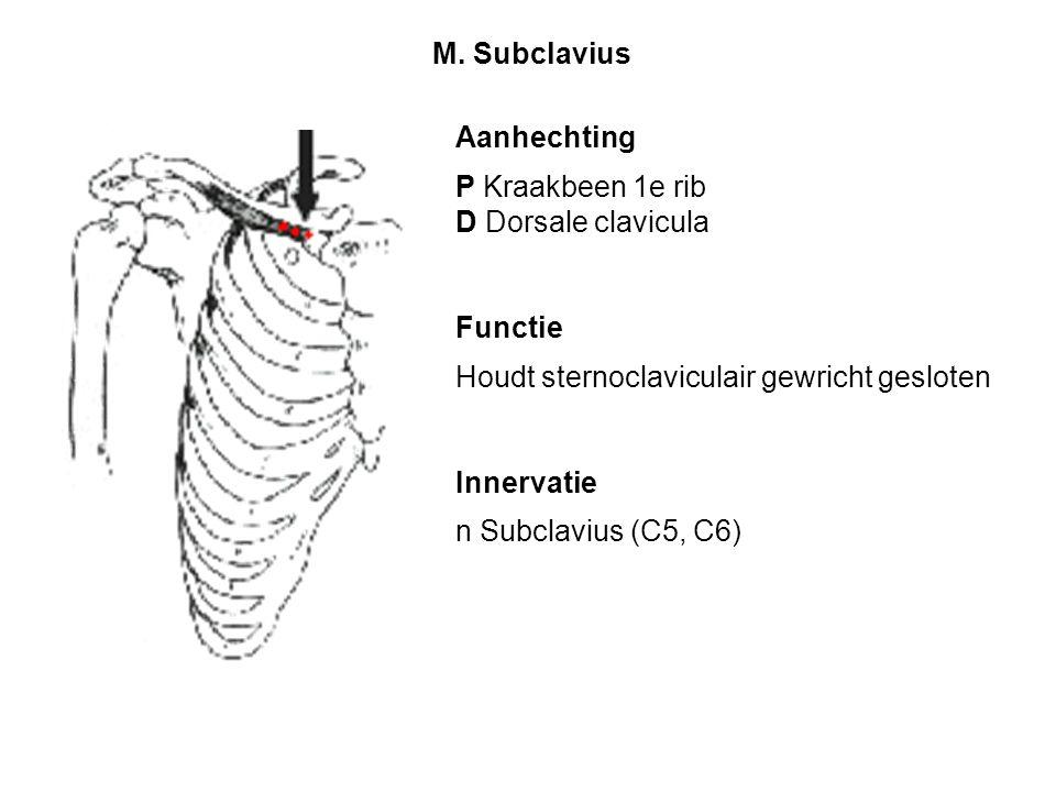 M. Subclavius Aanhechting. P Kraakbeen 1e rib. D Dorsale clavicula. Functie. Houdt sternoclaviculair gewricht gesloten.