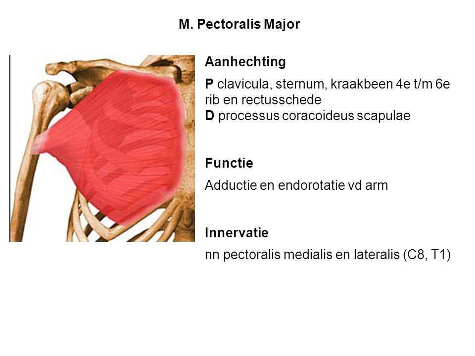 M. Pectoralis Major Aanhechting. P clavicula, sternum, kraakbeen 4e t/m 6e rib en rectusschede. D processus coracoideus scapulae.