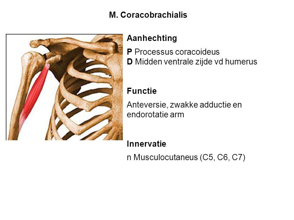 M. Coracobrachialis Aanhechting. P Processus coracoideus. D Midden ventrale zijde vd humerus. Functie.