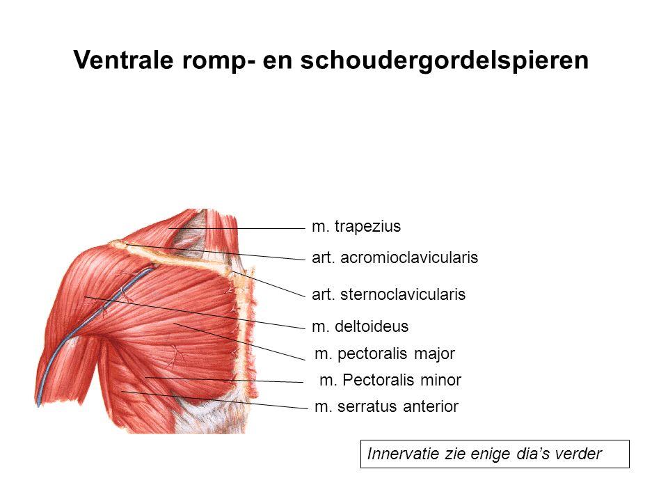 Ventrale romp- en schoudergordelspieren
