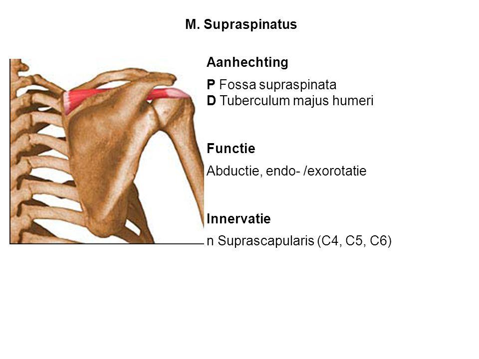 M. Supraspinatus Aanhechting. P Fossa supraspinata. D Tuberculum majus humeri. Functie. Abductie, endo- /exorotatie.