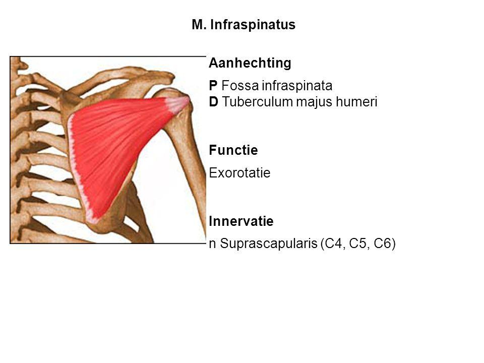 M. Infraspinatus Aanhechting. P Fossa infraspinata. D Tuberculum majus humeri. Functie. Exorotatie.