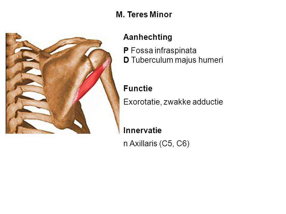 M. Teres Minor Aanhechting. P Fossa infraspinata. D Tuberculum majus humeri. Functie. Exorotatie, zwakke adductie.