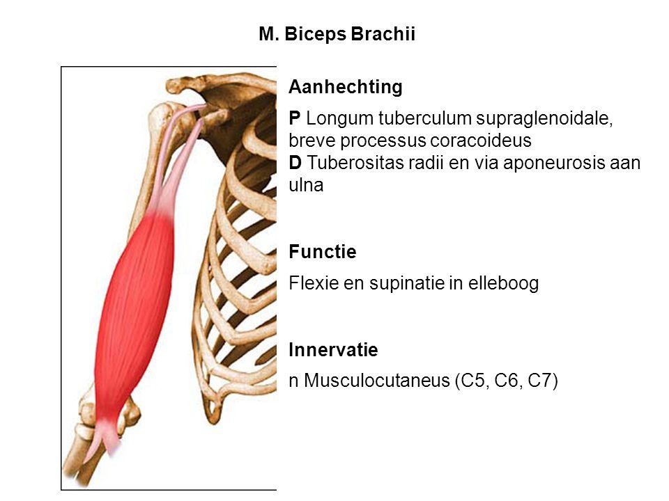 M. Biceps Brachii Aanhechting. P Longum tuberculum supraglenoidale, breve processus coracoideus. D Tuberositas radii en via aponeurosis aan ulna.