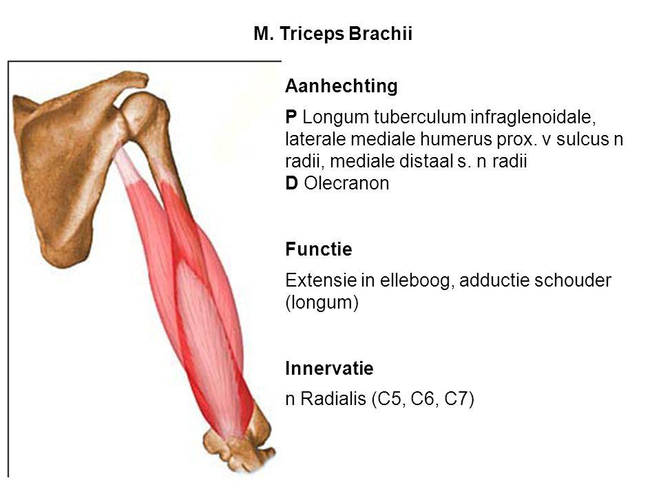 M. Triceps Brachii Aanhechting. P Longum tuberculum infraglenoidale, laterale mediale humerus prox. v sulcus n radii, mediale distaal s. n radii.
