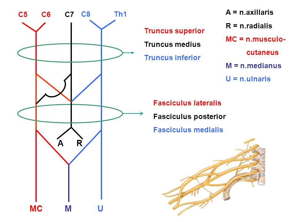A R MC M U A = n.axillaris R = n.radialis MC = n.musculo- cutaneus