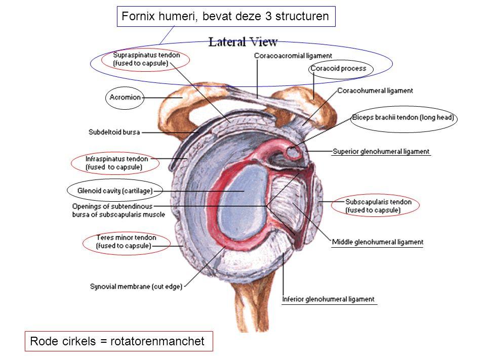 Fornix humeri, bevat deze 3 structuren
