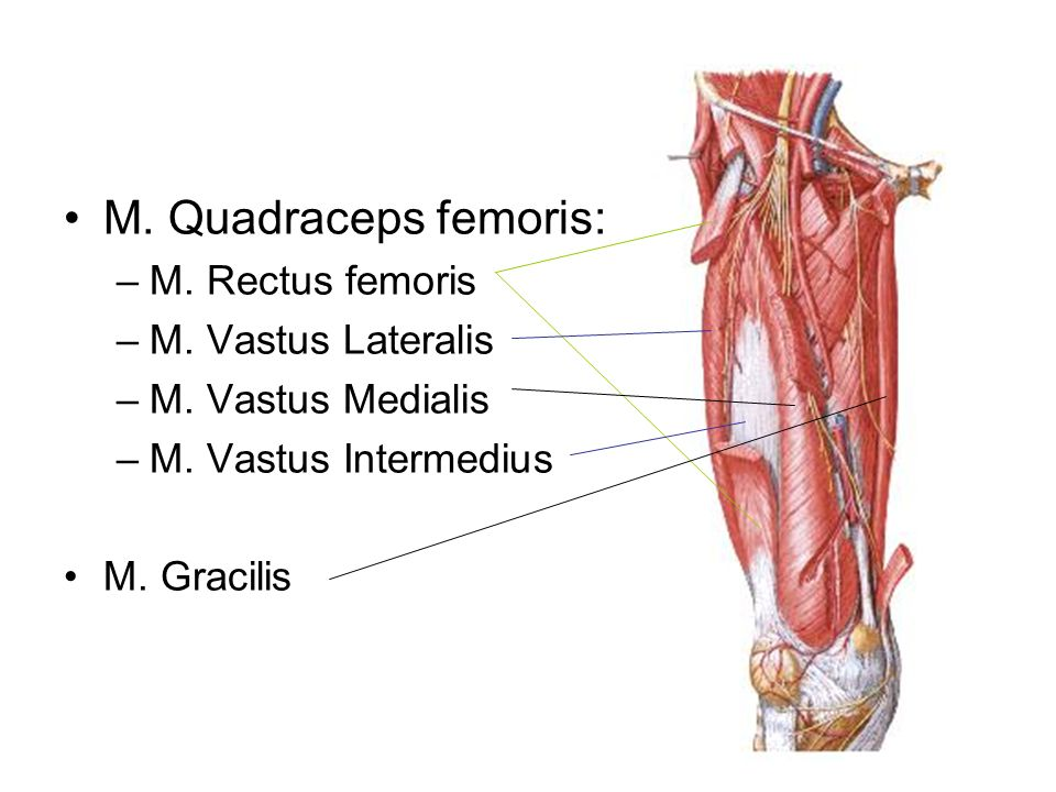 M. Quadraceps femoris: M. Rectus femoris M. Vastus Lateralis