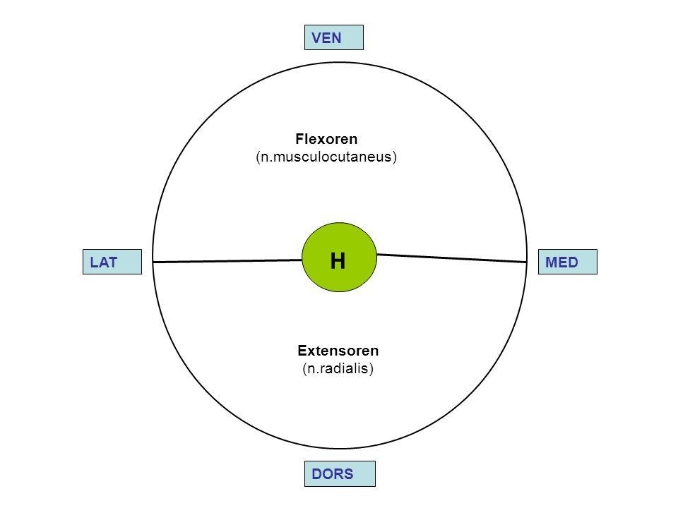 H VEN Flexoren (n.musculocutaneus) LAT MED Extensoren (n.radialis)