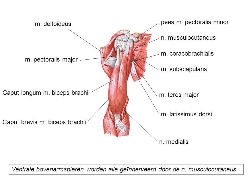 pees m. pectoralis minor
