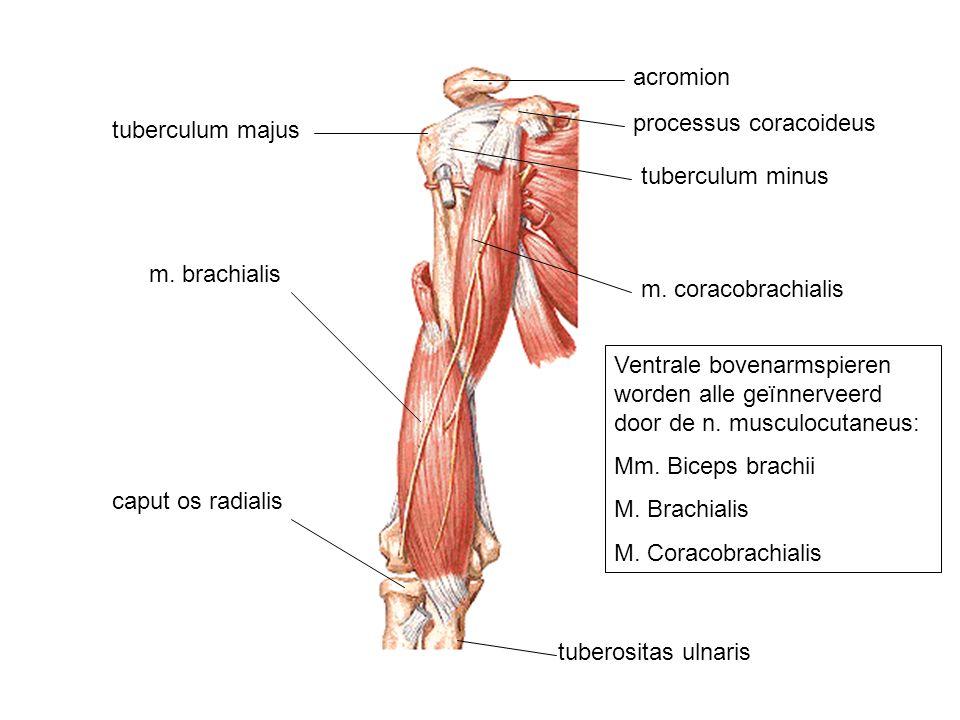 acromion processus coracoideus. tuberculum majus. tuberculum minus. m. brachialis. m. coracobrachialis.