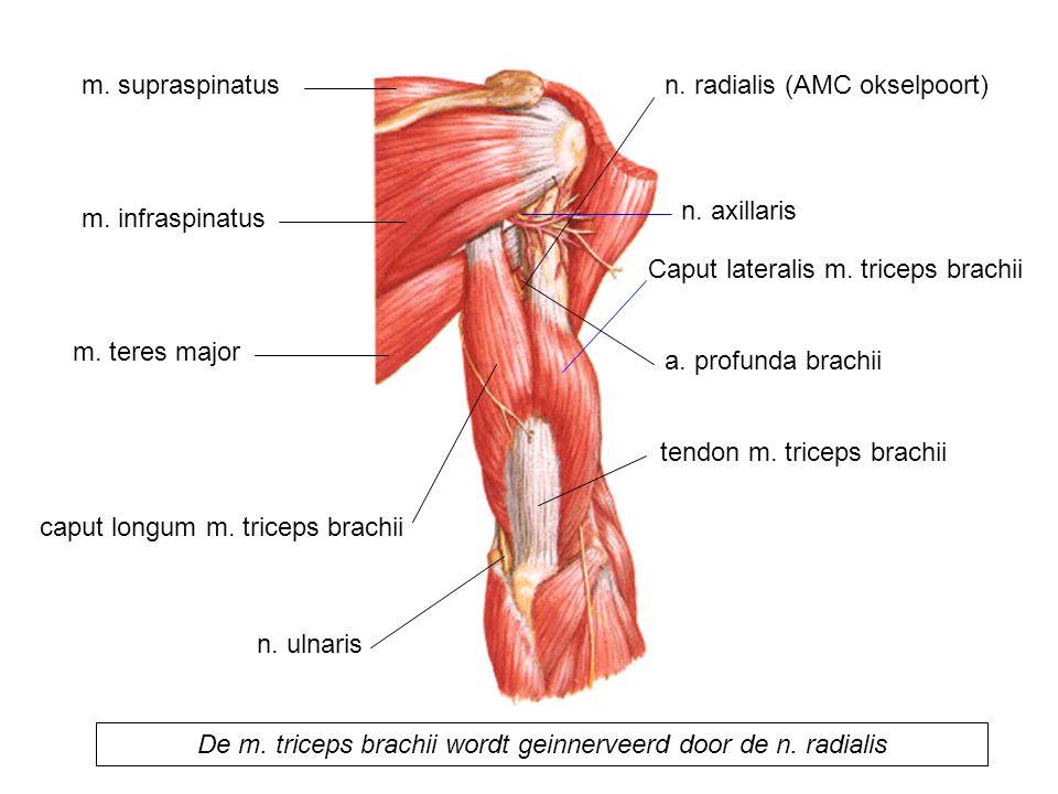 De m. triceps brachii wordt geinnerveerd door de n. radialis