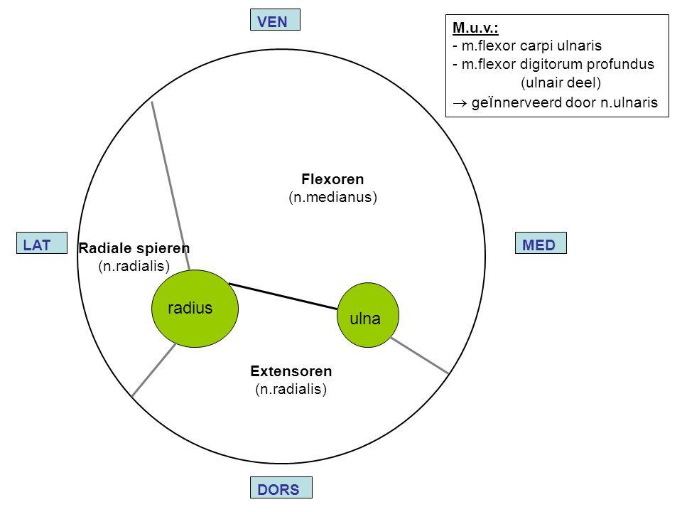 radius ulna VEN M.u.v.: m.flexor carpi ulnaris