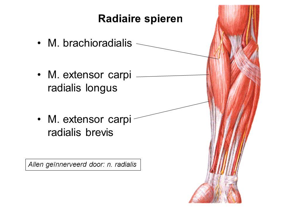 M. extensor carpi radialis longus