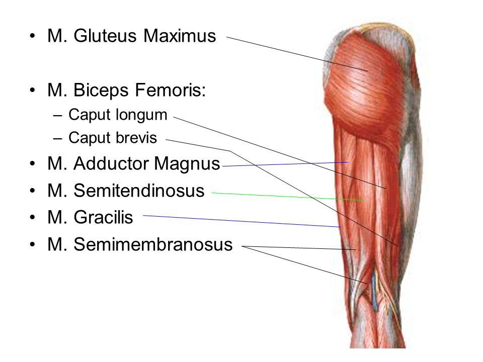 M. Gluteus Maximus M. Biceps Femoris: M. Adductor Magnus
