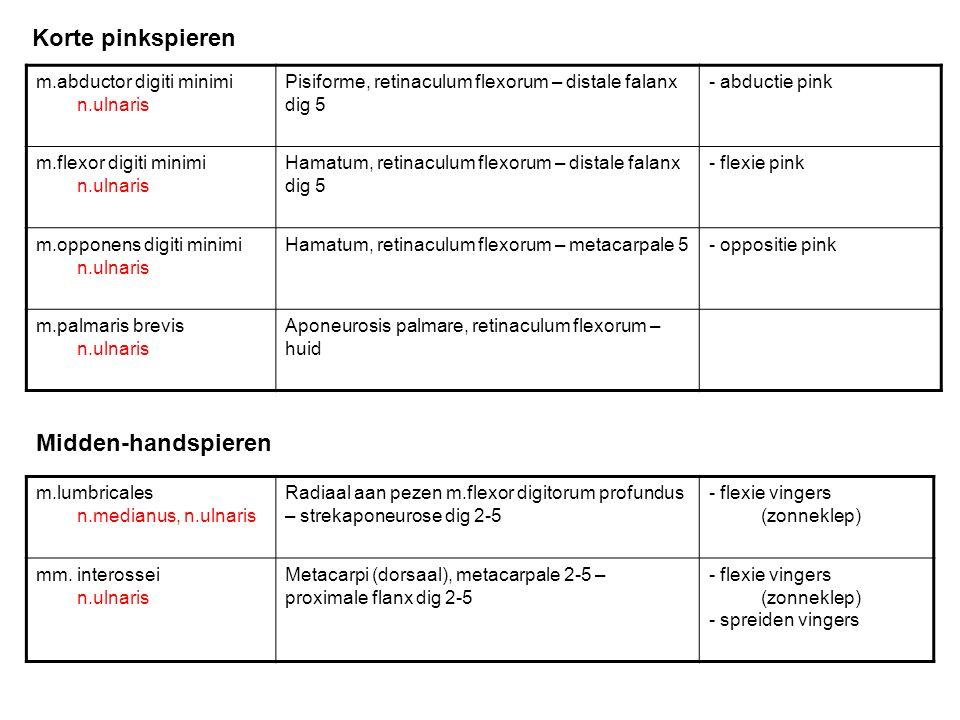 Korte pinkspieren Midden-handspieren m.abductor digiti minimi